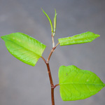 japanese knotweed - Dave Kilbey