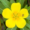 Creeping Water-primrose - Dave Kilbey